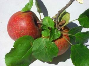 Apfel 1 Okt 08