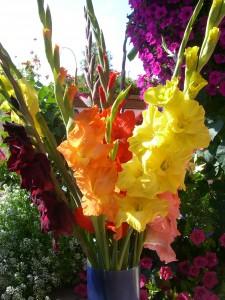 Gladiolen vom Feld_4